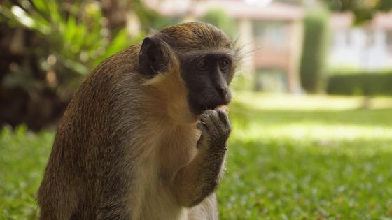 Affe beim Fressen wallpaper