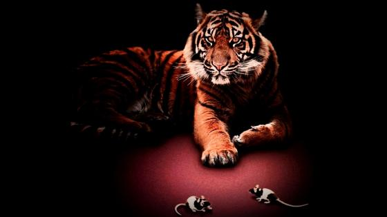 Tiger in the dark wallpaper