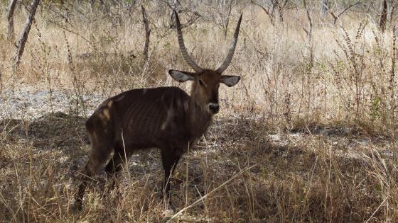 Antilope wallpaper