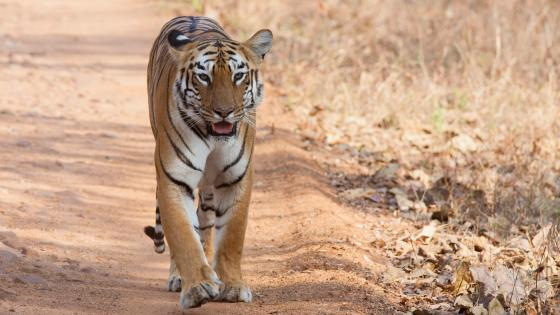 Bengal Tigress at Tadoba Andhari National Park wallpaper