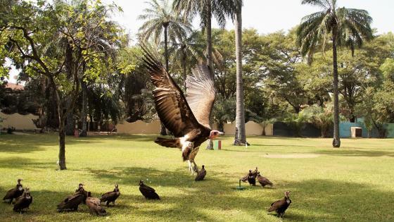 Vulture approaching wallpaper