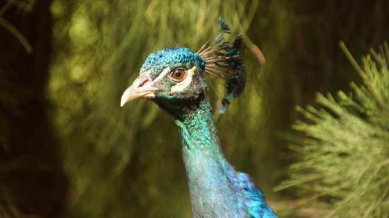 Peacock in the garden wallpaper