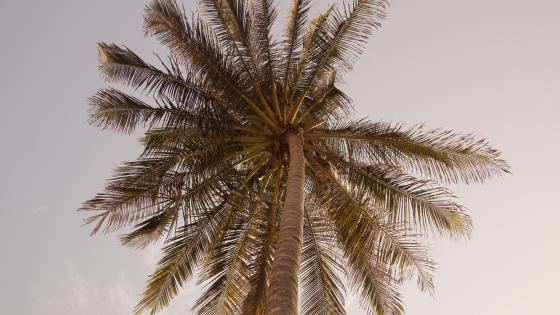 Palm tree in summer wallpaper