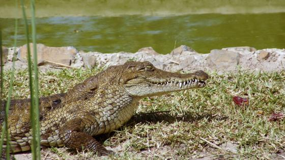 Crocodiles at the water hole wallpaper