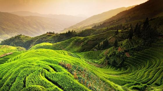 Terraced rice plant field wallpaper