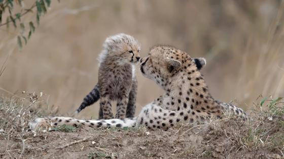 cheetah cub wallpaper