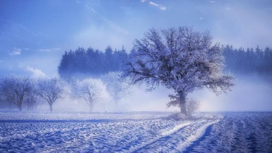 Hoary trees wallpaper