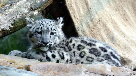 Snow leopard child wallpaper