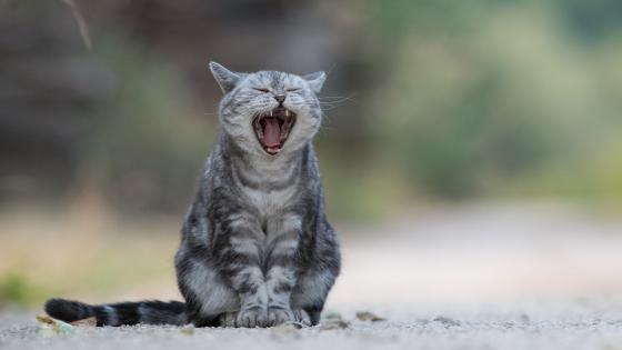 Cat yawn wallpaper