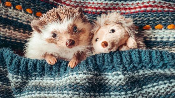 Pocket hedgehog wallpaper