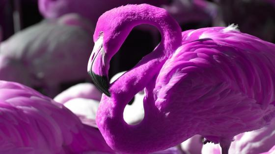 Purple flamingo wallpaper