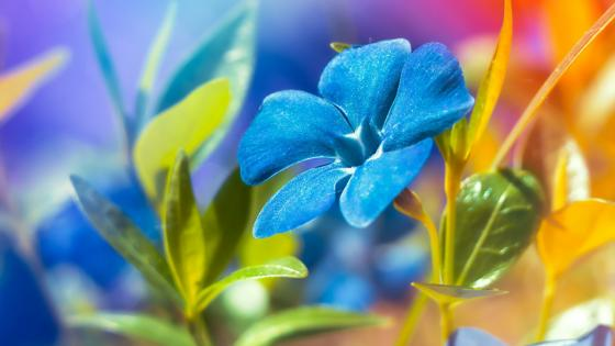 Blue Catharanthus wallpaper