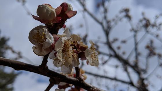 apricot blossom wallpaper