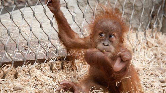 Orangutan baby wallpaper
