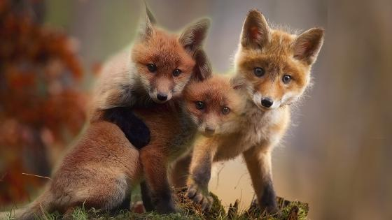 Fox cubs wallpaper