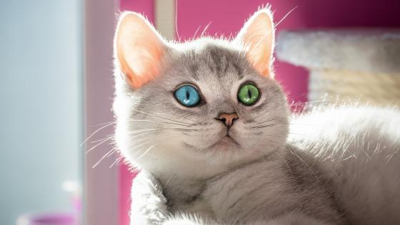 Cat with different colored eyes wallpaper