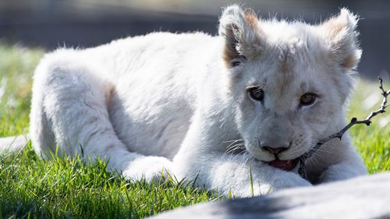 White lion cub wallpaper
