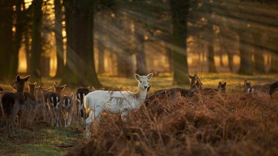 White faun deer wallpaper