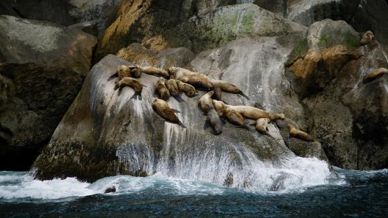 California sea lions wallpaper