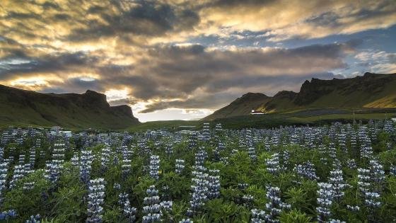Iceland lupine field wallpaper