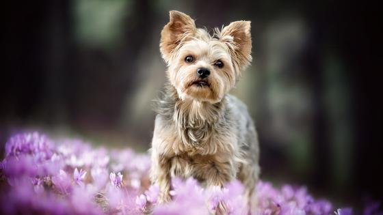 Yorkshire terrier wallpaper
