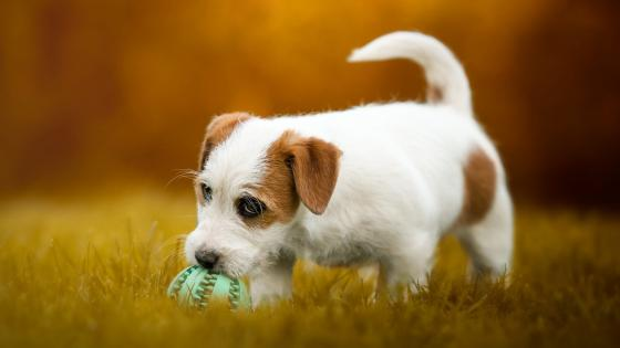 Parson Russell Terrier puppy wallpaper