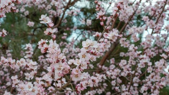 春日之花 wallpaper