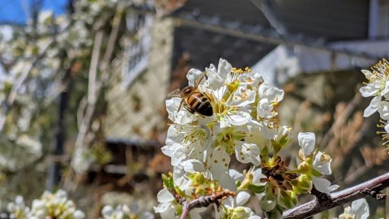 bee in a flower wallpaper