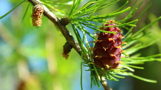Spring Larch wallpaper