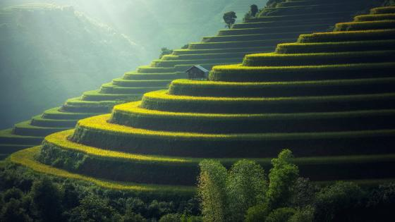 Terraced paddy field wallpaper