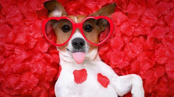 Jack Russel Terrier in heart sunglasses wallpaper