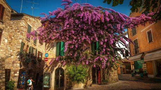 Flowering Bougainvillea at Sirmione wallpaper