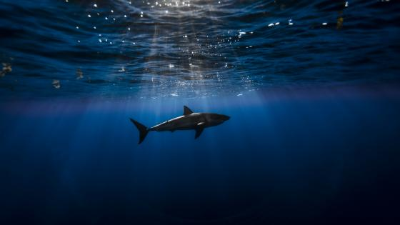 Underwater Shark wallpaper