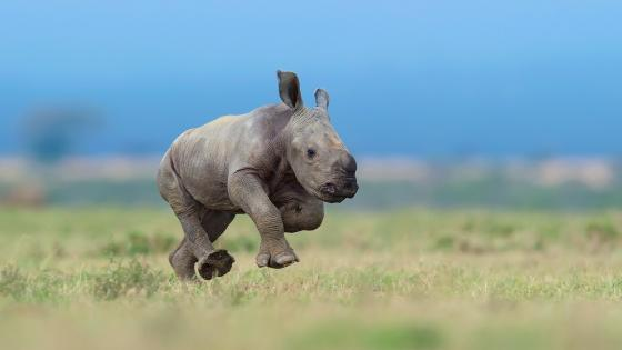 Baby Rhino wallpaper