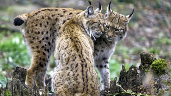 Iberian lynx wallpaper