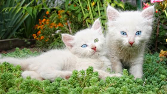 White kitten with different colored eyes wallpaper