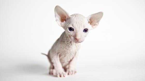 Sphynx kitten wallpaper