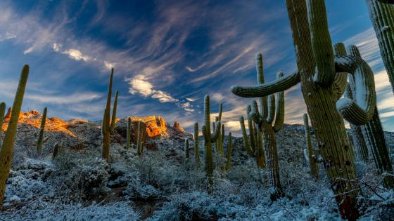 Snowy Saguaro Cactus at the Sonoran Desert wallpaper