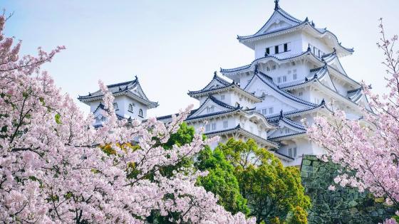 Himeji Castle at sakura blossom wallpaper