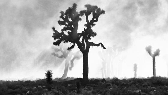 Joshua Trees in Death Valley wallpaper