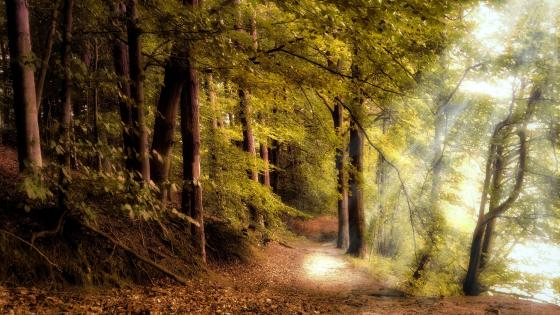 Rays of sun on a forest trail wallpaper