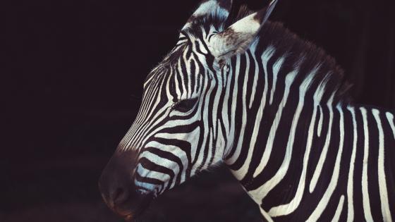 Zebra portrait wallpaper