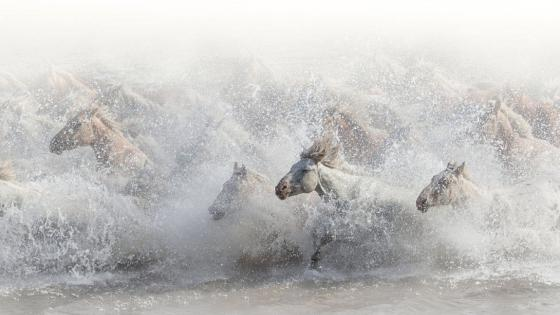 Running horse herd in the water wallpaper