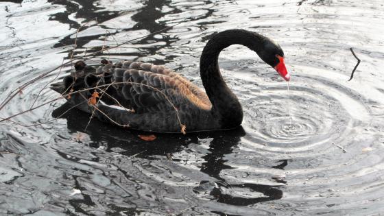 Black swan wallpaper