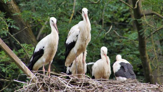 Stork family in the nest wallpaper
