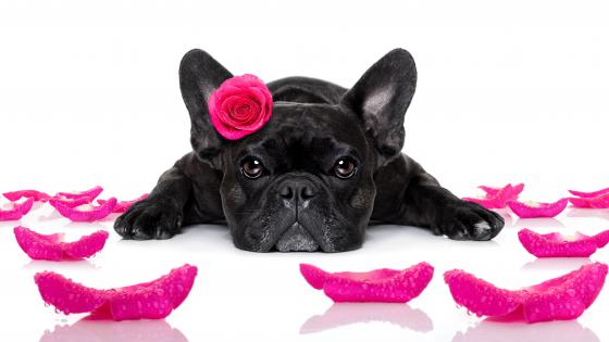 Black French bulldog  with a pink rose wallpaper