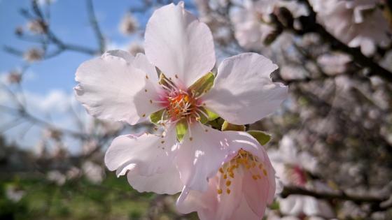 almond flowers wallpaper