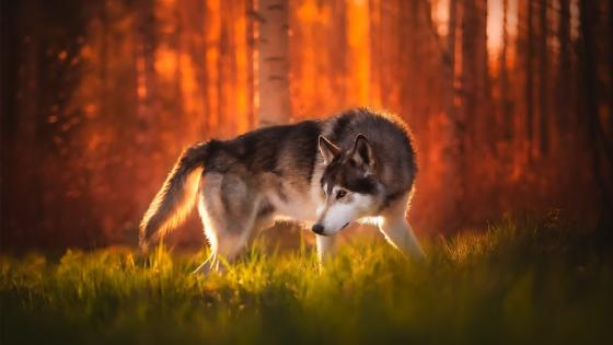 Wolfdog wallpaper
