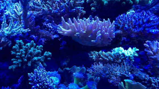 Blue corals wallpaper