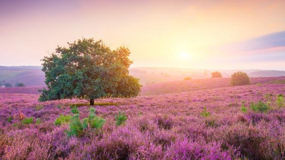 Pink field with a solitary tree wallpaper